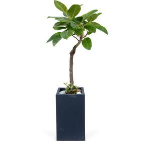 뱅갈고무나무 s7000